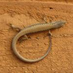 Salamander in Washington