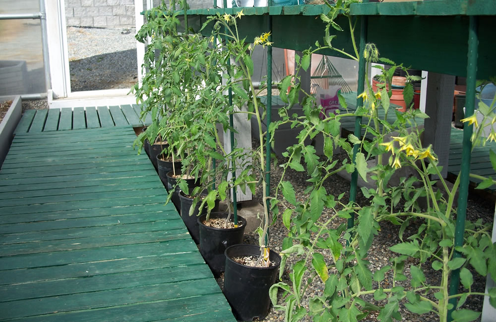 Tomatoes with flowers