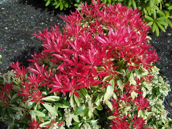 Flaming Silver Pieris japonica Japanese Andromeda Shrub