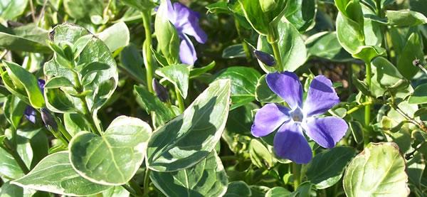 variegated periwinkle